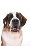 Saint Bernard dog. 's head and chest Stock Image