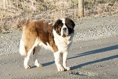 Saint Bernard Dog  Stock Photography