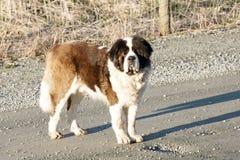 Saint Bernard Dog. Large Saint Bernard out for an evening walk Stock Photography