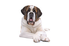 Saint Bernard dog Royalty Free Stock Photography