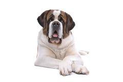 Saint Bernard dog. Close up of Saint Bernard dog lying on ground, isolated on white background Royalty Free Stock Photography