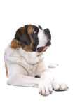 Saint Bernard dog Stock Photos