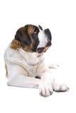 Saint Bernard dog. Close up of Saint Bernard dog lying on ground, isolated on white background Stock Photos
