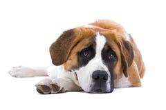 Saint Bernard dog. Close up of cute Saint Bernard dog lying on ground, isolated on white background Stock Photo