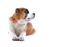 Saint Bernard dog. Close up of Saint Bernard dog, isolated on white background Stock Photography