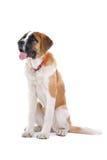 Saint Bernard dog. Close up of young Saint Bernard dog, isolated on white background Stock Images