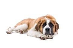 Saint Bernard dog. Close up of Saint Bernard dog lying on ground, isolated over white background Stock Images