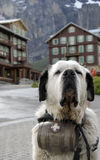 Saint Bernard dog with barrel of brandy Stock Photos