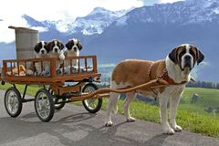 Saint Bernard Taxi. Saint Bernard Dog, female pulling cart with here three puppies on mountain road, swiss alpes in the background Stock Images
