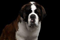Saint Bernard Dog on Isolated Black Background Royalty Free Stock Photos