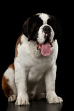 Saint Bernard Dog on Isolated Black Background. Huge Saint Bernard Dog Sitting on Isolated Black Background, Front view Royalty Free Stock Photos
