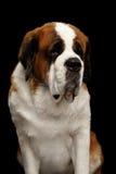 Saint Bernard Dog on Isolated Black Background Royalty Free Stock Photo