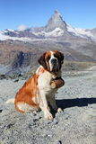 Saint Bernard dog on Matterhorn mountain Royalty Free Stock Images