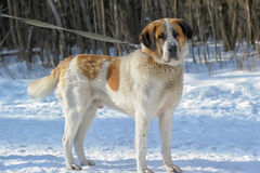Saint Bernard in the Snow Royalty Free Stock Photo