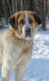 Saint Bernard in the Snow Stock Photos