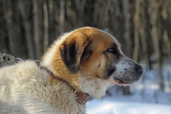 Saint Bernard in the Snow Royalty Free Stock Image
