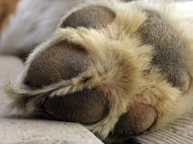 Saint Bernard dog paw Royalty Free Stock Photo