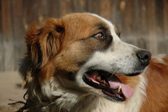 Saint bernard dog Royalty Free Stock Image