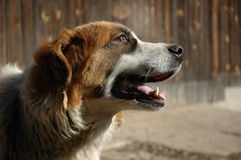 Saint bernard dog Stock Images
