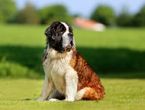 Saint Bernard dog Royalty Free Stock Photos