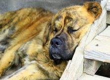 Saint Bernard dog. Sleeping on stairs Stock Images