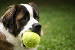 Saint Bernard Dog with Toy Stock Images