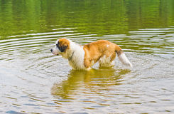 Saint Bernard Dog in Water. Saint Bernard dog in the nature in water royalty free stock photography