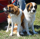Saint Bernard dogs Stock Photos