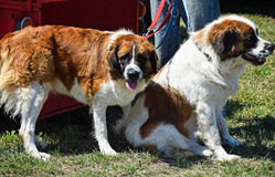Saint Bernard dogs Royalty Free Stock Photography