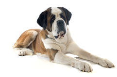 Saint bernard Royalty Free Stock Photo