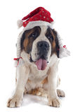 Saint Bernard and hat Royalty Free Stock Images