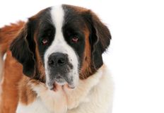 Saint Bernard Portrait Royalty Free Stock Photography