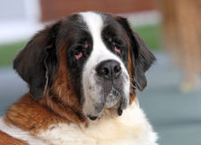 Saint Bernard Portrait Stock Photos