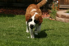 Saint Bernard Puppy Stock Photo