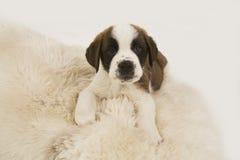Saint Bernard puppy. Closeup of Saint Bernard puppy on white rug Royalty Free Stock Image