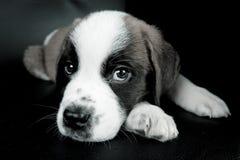 Saint Bernard puppy. Closeup of Saint Bernard puppy, isolated on black background Stock Image