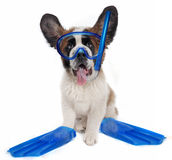 Saint Bernard puppy dog wearing snorkeling gear Stock Photo