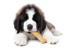 Saint Bernard Puppy Enjoying a Treat Stock Images