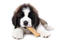 Saint Bernard Puppy Enjoying a Treat Stock Images