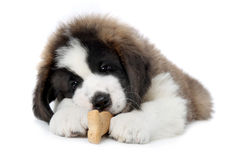 Saint Bernard Puppy Enjoying a Treat Royalty Free Stock Photo