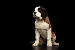 Saint Bernard Puppy on Isolated Black Background. Gorgerous Saint Bernard Puppy Sitting and waiting on Isolated Black Background, Front view Stock Photo