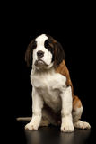 Saint Bernard Puppy on Isolated Black Background. Gorgerous Saint Bernard Puppy Sitting and waiting on Isolated Black Background, Front view Royalty Free Stock Image