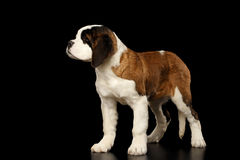 Saint Bernard Puppy on Isolated Black Background. Gorgerous Saint Bernard Puppy Standing on Isolated Black Background, side view Stock Photos