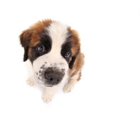Saint Bernard Puppy Looking Sweet and Innocent Royalty Free Stock Photo