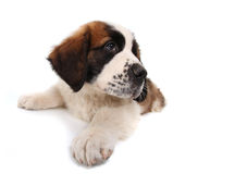 Saint Bernard Puppy Lying Down Looking Sideways Royalty Free Stock Image
