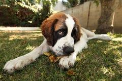 Saint Bernard Puppy Lying in the Grass Outdoors stock photography