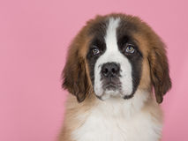 Saint Bernard puppy. At a pink background Royalty Free Stock Images