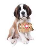 Saint Bernard Puppy Portrait Stock Image