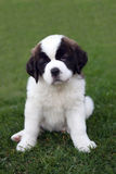 Saint Bernard Puppy Portrait Stock Photos