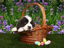 Saint Bernard Puppy Portrait Royalty Free Stock Photos